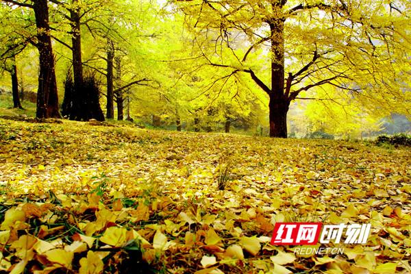 20-30株连片古银杏林有四,五处,已成为永州乃至湖南的一道亮丽风景线